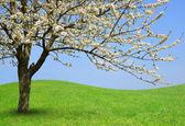 Flowering tree on meadow — Stock Photo