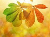 Autumn leaves of chestnut tree — Stock Photo