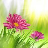 Purple spring flowers — Stock Photo