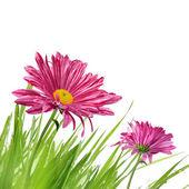 Fialový jarní květiny — Stock fotografie