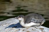 The Humboldt Penguin — Stock Photo