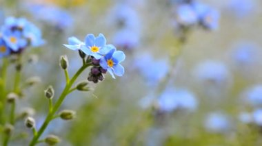 Forget me not flower — Vídeo de Stock