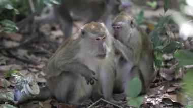 Maymun böcekler için arıyorsunuz — Stok video
