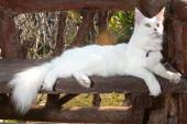 White Maine Coon Cat on the bench — Stock Photo
