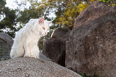 White Maine Coon Cat on the rock — Stock Photo