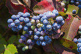 Cluster of ripening wild grapes — Stock Photo