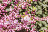 Branch of the blossoming Oriental cherry — Stock Photo