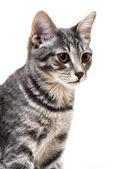 Gray kitten — Stock Photo