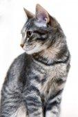 Grijze kitten — Stockfoto