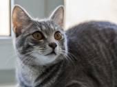 O gato cinzento senta-se em um peitoril da janela — Fotografia Stock