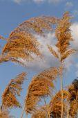 Gold grass — Stock Photo