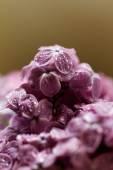 Viola lilla — Foto Stock