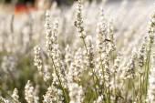 White lavender flowers — Stock Photo