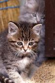 Beautiful tabby kittens — Stock Photo