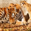 Постер, плакат: Tiger mum with cub