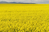 Field of rapeseed against sky — Stock Photo
