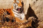 Tiger mum and cub — Stock Photo