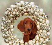 Setters puppy, xmas, horizontal portrait — Stock Photo
