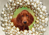 Setters puppy, xmas, horizontal portrait — Stok fotoğraf