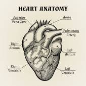 Gráfico de anatomia de coração preto e branco — Vetor de Stock