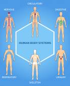 Vector human body systems illustration — Wektor stockowy