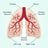Structure of the lungs — Stock Vector