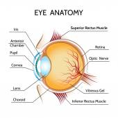 Eye anatomy — Stock Vector