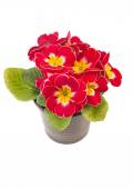 Red yellow Primrose potted plant — Stock Photo