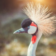 Close-up of a crowned crane — Stock Photo #54827951