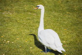 Beautiful white swan walking on the grass — Stock Photo