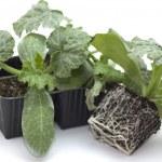 Planting green zucchini — Stock Photo #69537941