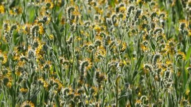 Fiddleneck Wildflowers Time Lapse in Southern California — Stock Video