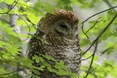 Spotted Owl (Strix occidentalis lucida) — Stock Photo