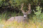 Mule Deer (Odocoileus hemionus) Buck — Stock Photo