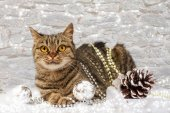 European cat with Christmas decorations  — Foto Stock