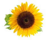 Sunflower, isolated on a white background. — Stock Photo
