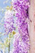 Jarní sezóna. Japonská wistárie květiny. — Stock fotografie