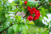 Quince flower — Stock Photo