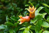 Pomegranate flowers — Stock Photo