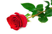 Beautiful red rose on white background — Stock Photo