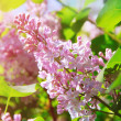 Lilac flowers — Stock Photo #54574627
