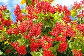 Rode bloemen van mediterrane acacia — Stockfoto