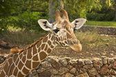 Giraffe at the Zoo Park — Stok fotoğraf