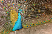 Portrait of a male peacock — Stock Photo