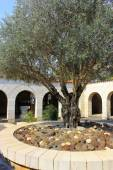 Courtyard with olive tree, church of the Multiplication of the loaves and fish, Tabgha, Israel — Stock Photo