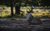 Red deer awakening — Stock Photo