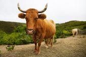 Röd ko med stora horn kurvor — Stockfoto