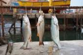 Corvina Fish — Foto de Stock