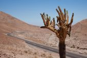 Candelabra Cactus — Stock Photo