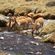 Vicuna in Water — Stock Photo #59917763